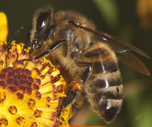пчелни с ужилвания артрит